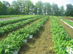 Rows of spinach in the field