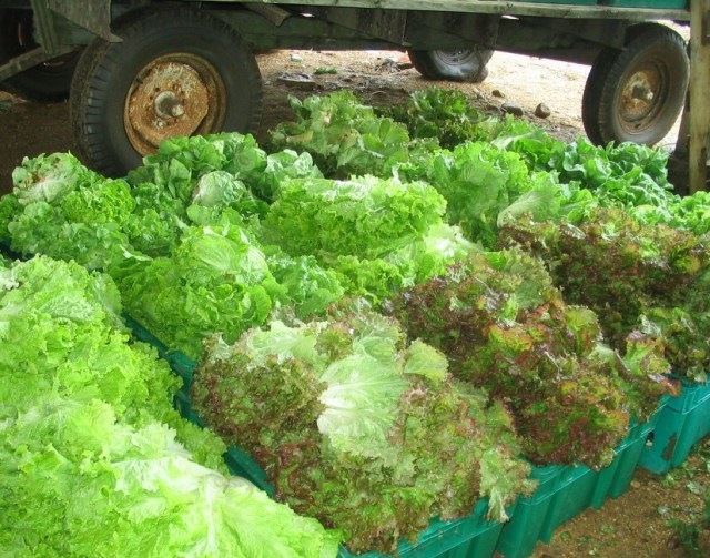 bins of Simpson and New Red Fire lettuce