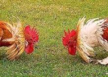 game of chicken
