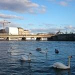 весна и лебеди в Стокгольме_С