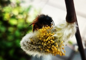 Шведская пчелка за работой