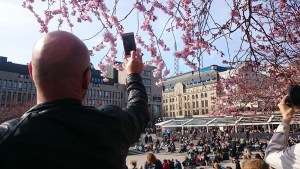 в апреле в стокгльме все фотографируются с цветущей сакурой
