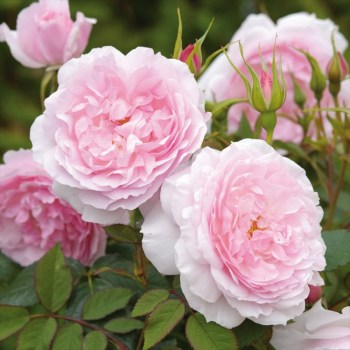 David Austin Shrub Rose Lady Salisbury available from Strawberry Garden Centre, Uttoxeter