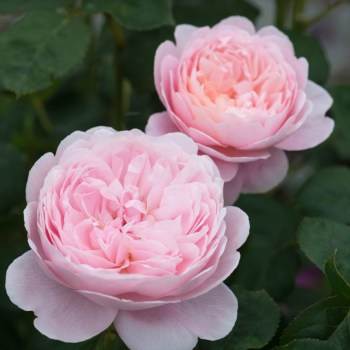 David Austin Shrub Rose Queen of Sweden available from Strawberry Garden Centre, Uttoxeter