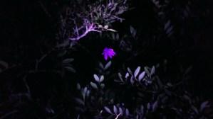 Fiore di notte