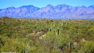 One of the greatest symbols of the American Southwest is the tall and sturdy saguaro cactus. Reaching heights of 60 feet (18 meters), the only place in the world where they grow natively is in the Sonoran Desert of southern Arizona, southeastern California and northern Mexico. These mighty cacti can […]