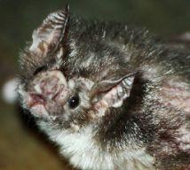 Peruvian vampire bat