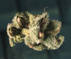 really delish marijuana seeds
