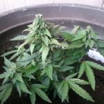little flowering kush plant that is four months old