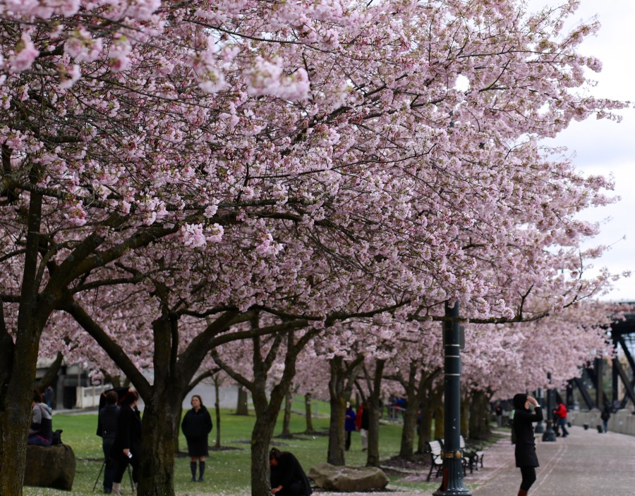 Cherry Blossoms 5a