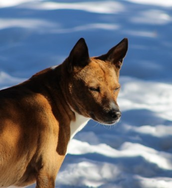Basenji in the snow