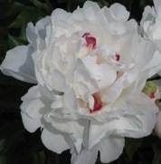 white-peony-bloom1