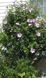 rose-of-sharon-bush