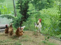 My Dad's rooster and his chicken ladies 2