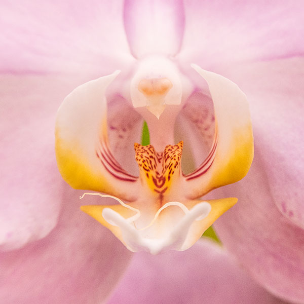 orchid throat with pink overtones image
