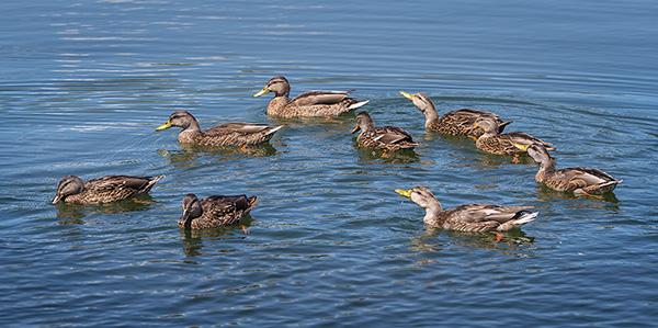 mallard family swim photo