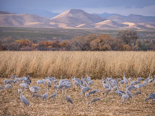 Sandhill Cranes in the corn