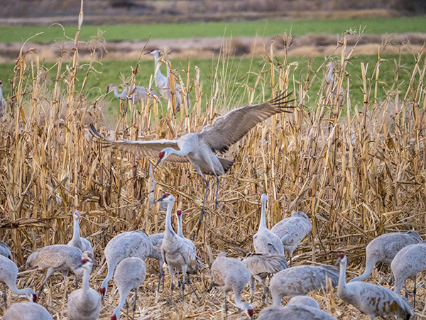 corn field with crane