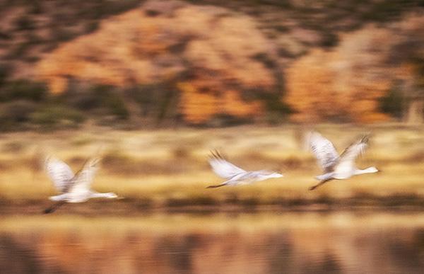 sandhill crane art photo