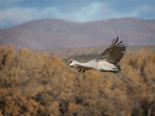 sandhill crane flyby