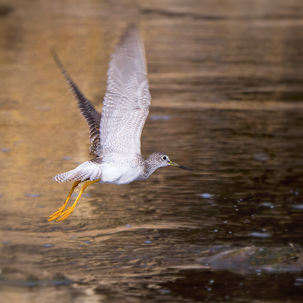 greater yellowlegs sandpiper bird
