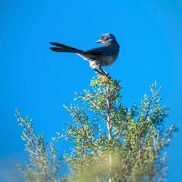 bluejay in the treetop