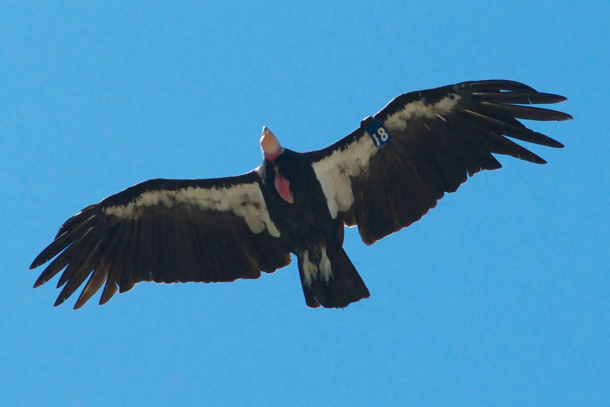 Condor pair may be incubating an egg in Zion National Park
