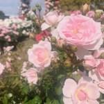 デートコースご紹介~その12~荒牧バラ公園