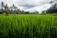Blick in die Reisfelder, Pajar House Ubud
