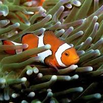 CrownAnemonefish
