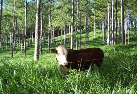 La combinación de la forestación con la ganadería abarca 34 millones de hectáreas en el país, con destacadas ventajas económicas y ambientales. FOTO: INTA.
