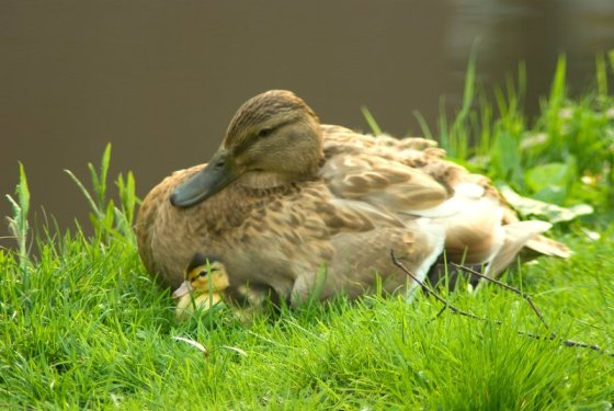 Single Mom Poetry ~ A Mother Duck