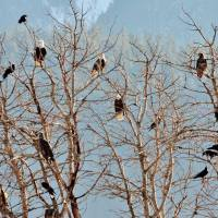 Sightings: A convocation of eagles