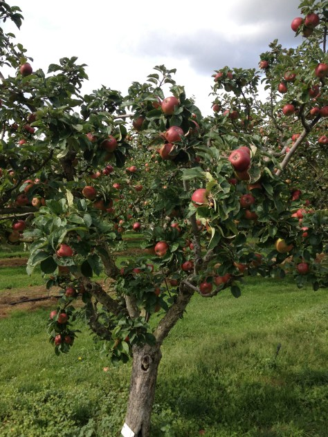 Apple tree RHS