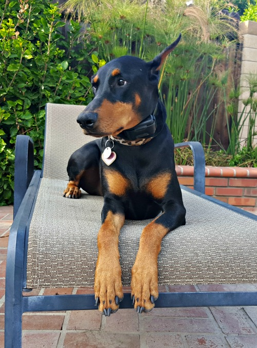 How I Got My Doberman to Stop Barking