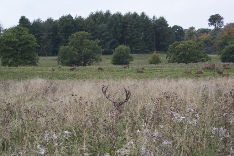 Deer at Tatton park grazing during rutting season