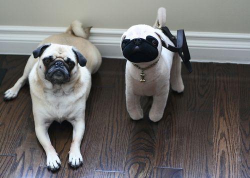 Pug bag and real pug zoe