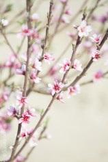 Young Peach Tree Orchard (Prunus persica)