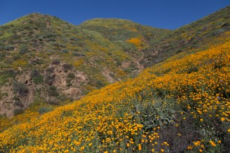California_poppies-135