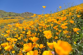 California_poppies-154