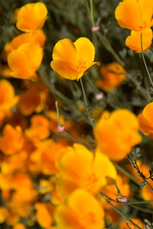 California_poppies-162