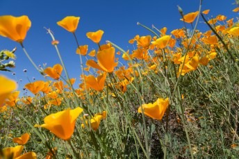 California_poppies-173