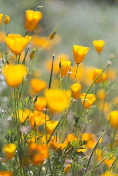 California_poppies-20