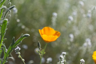 California_poppies-24