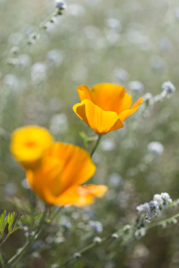 California_poppies-25