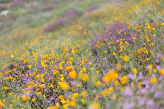 California_poppies-31