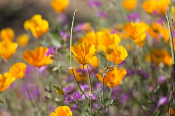 California_poppies-44