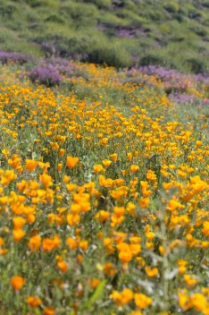 California_poppies-5