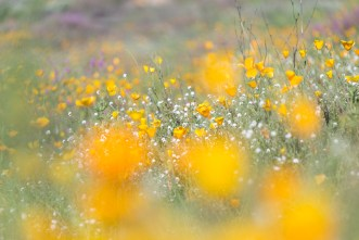 California_poppies-50