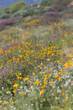 California_poppies-65